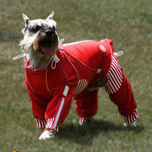 Stylish body suit for dogs protects, adds warmth and fits great.