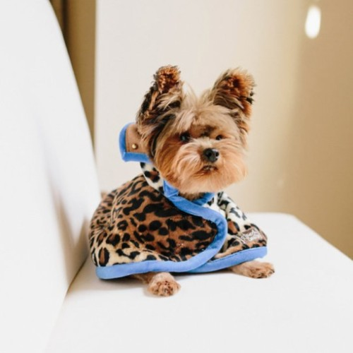 designer dog fashion; leopard with blue velvet trim cape.
